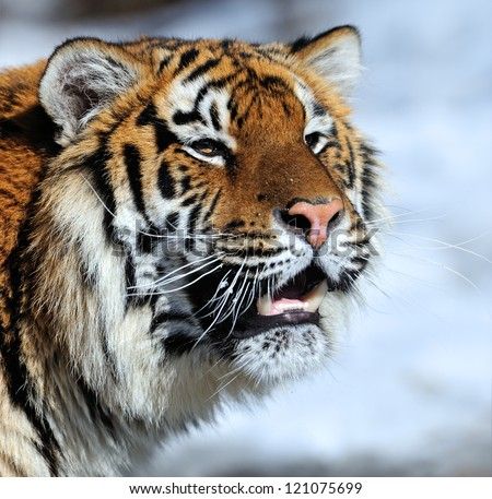 Tiger walking in the snow in winter