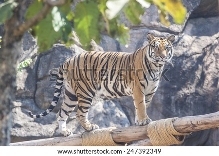 Tiger walking in zoo animals - stock photo