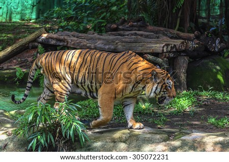 Tiger walking on the green grass slowly creeps - stock photo
