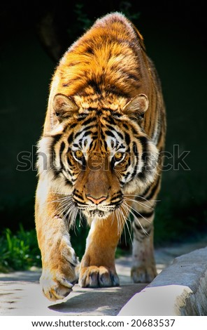 tiger walking toward me and staring eyes to eyes Tiger Panthera tigris altaica - stock photo