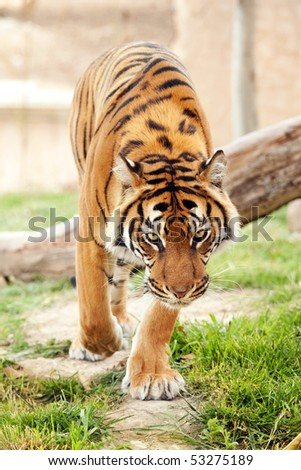 Tiger walking towards camera - stock photo