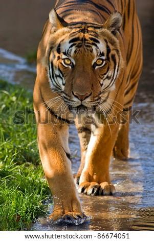 tiger walking water - stock photo