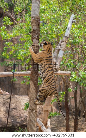 Tiger was climbing a tree in a zoo.
