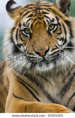 tiger watching you - stock photo