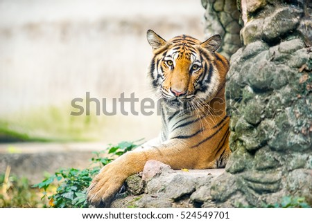 tiger with black and white tone and dramatic tone