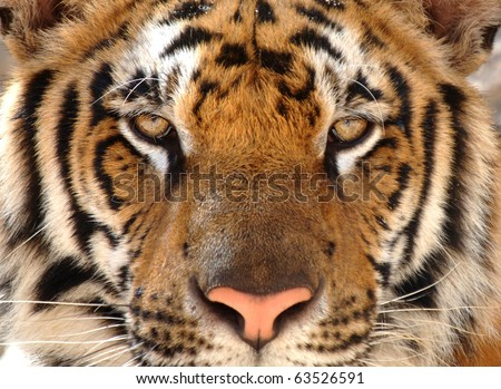tiger with eyes looking at camera, kanchanburi, thailand, asia. exotic big cat in tropical country. same as indo china, sumatran or amur tiger.full frame close up of magnificent male bengal tiger - stock photo