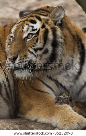 Tiger with just born cub