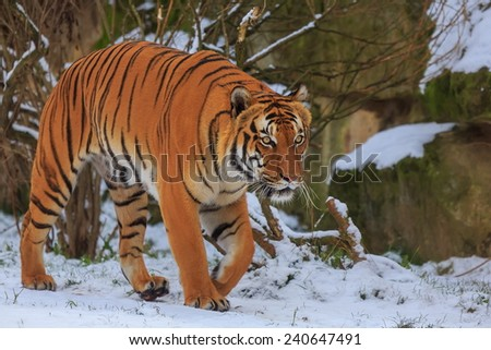 tiger with snowy scenery - stock photo