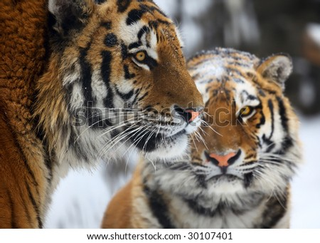 Tiger with tigress. Novosibirsk ZOO, winter