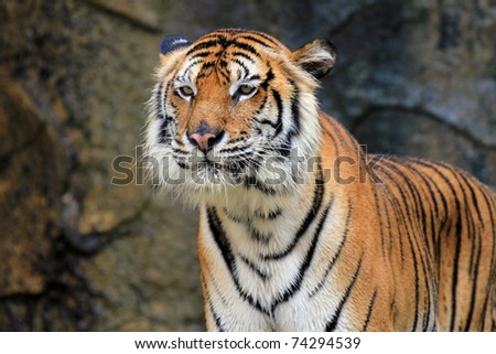 Tigers are looking for food. - stock photo