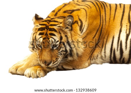 Tigers Cut white background