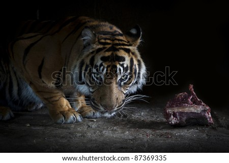 Tigers dinner - stock photo