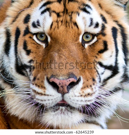 Tigers face - stock photo