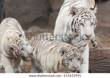 Tigers family - stock photo