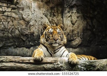 Tigers feeding. - stock photo