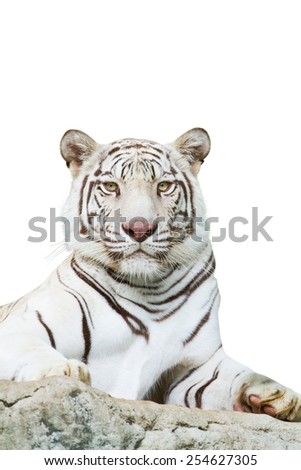 Tigers for watching on a white background.  - stock photo