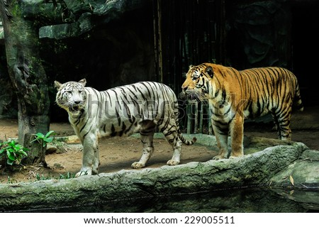 Tigers in the zoo. - stock photo