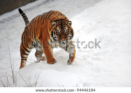 Tigers in winter - stock photo