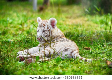 Tigers lie on  grass at  zoo
