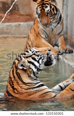Tigers live alone and aggressively scent-mark large territories to keep their rivals away. - stock photo