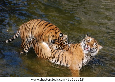 Tigers make love in the water