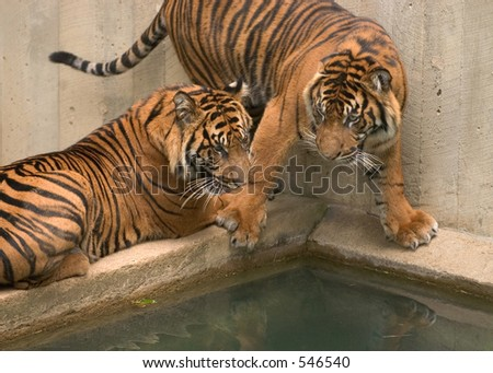 Tigers. National Zoo in Washington. - stock photo