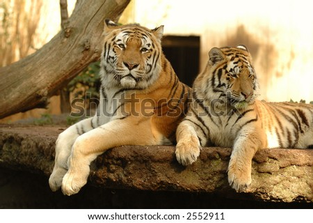 Tigers resting in the shade - stock photo