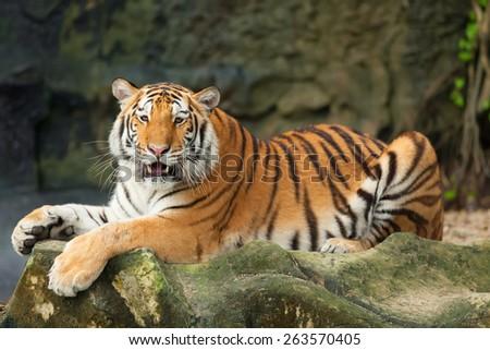 Tigers roar sleeping on rocks. - stock photo
