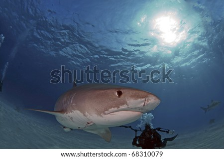 Tigers shark once fear are now being sought by divers for eco tours - stock photo
