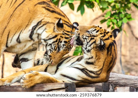 Sumatran tiger stock images royalty free images vectors - Show me a picture of the tiger ...