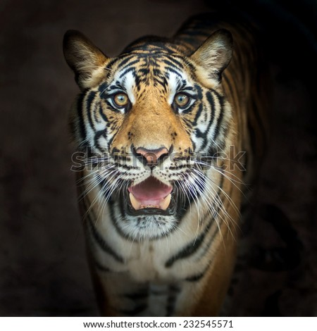 Tigers, was walking up to me. - stock photo