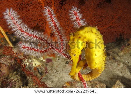 Tigertail Seahorse - stock photo