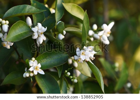 Tight shot of orange blossoms and buds selectively focused with oranges in background. - stock photo