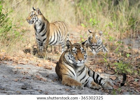 Tigress and cubs. In a sunny day the tigress lies on a forest glade. India . Bandhavgarh National Park - stock photo