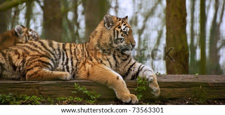 Tigress relaxing on log with young cub behind blurred - stock photo