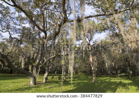 Tilandsia usneoides Spanish moss hangs in shadows of wide branches of oak trees at Abercrombie Park in St. Petersburg, Florida - stock photo