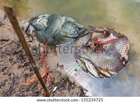 tilapia fish in  mesh bag