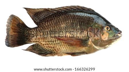 Tilapia fish on white background - stock photo