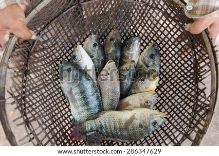 tilapia fishes in hand of farmer for send to fresh market, Thailand. - stock photo