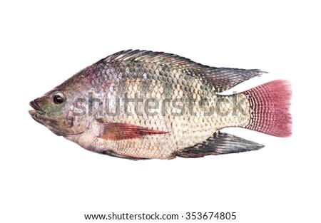 Tilapia isolated on white background - stock photo