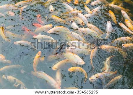 Tilapia underwater - stock photo