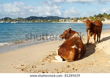Till The Cows Get A Tan - stock photo