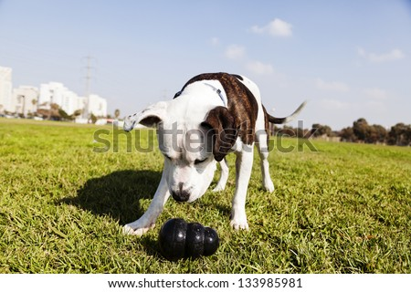 Tilted wide angle view of a Pit Bull looking at his black chew toy laying on the grass at an urban park. - stock photo