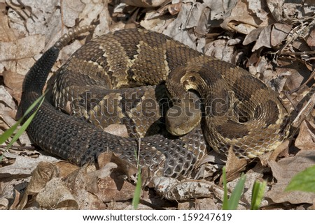 Timber Rattlesnake, Black Phase - Photographed in Elk State Forest, Pennsylvania - stock photo