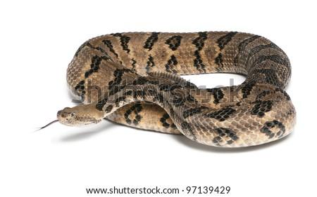 Timber rattlesnake - Crotalus horridus atricaudatus, poisonous, white background - stock photo