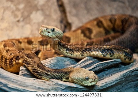 Timber Rattlesnakes - stock photo
