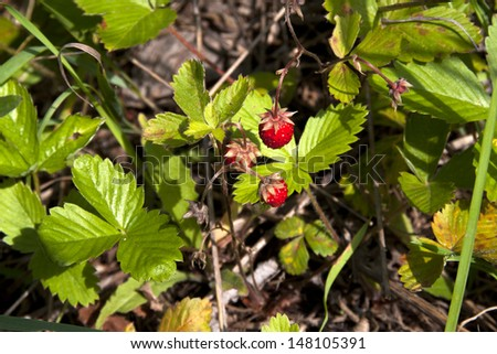 timber strawberry  - stock photo