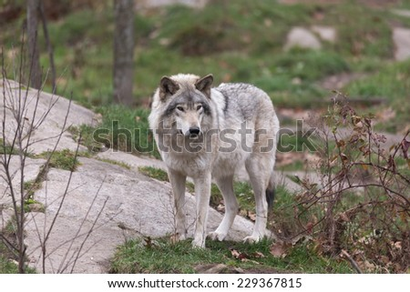 Timber Wolf - stock photo