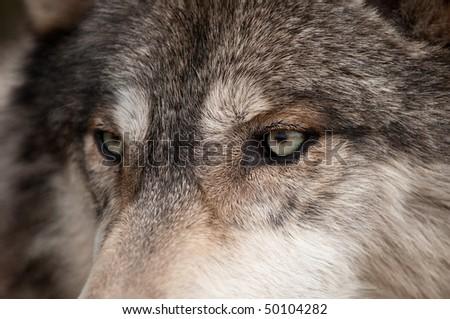 Timber Wolf (Canis lupus) Eyes - captive animal - stock photo
