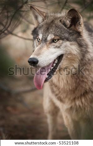 Timber Wolf (Canis lupus) Under Pine - captive animal - stock photo